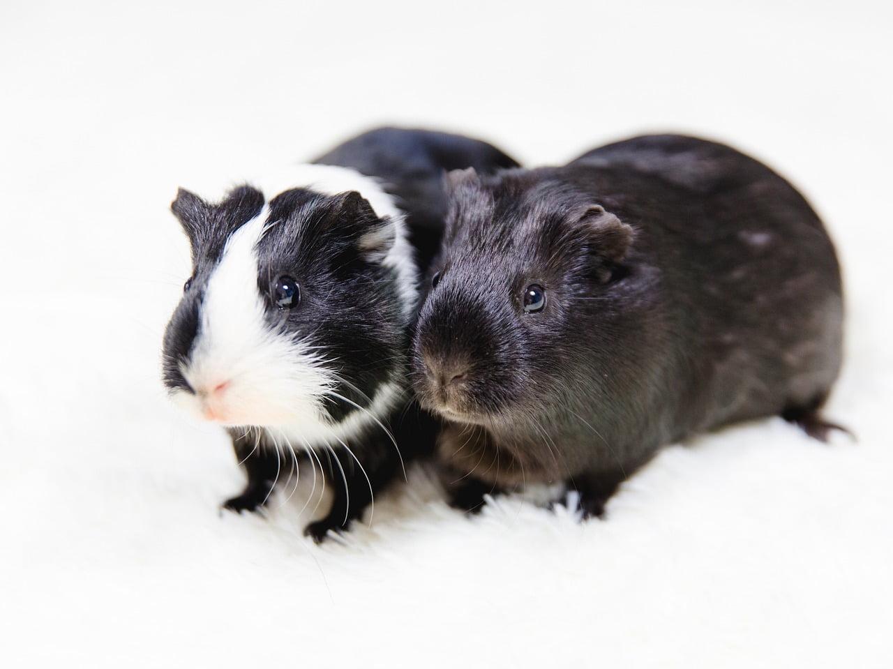 Jakie są rasy świnek morskich?