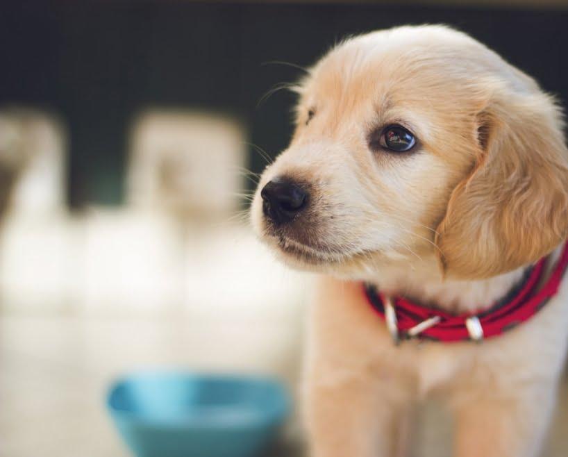 Obroże na kleszcze Foresto dla psa